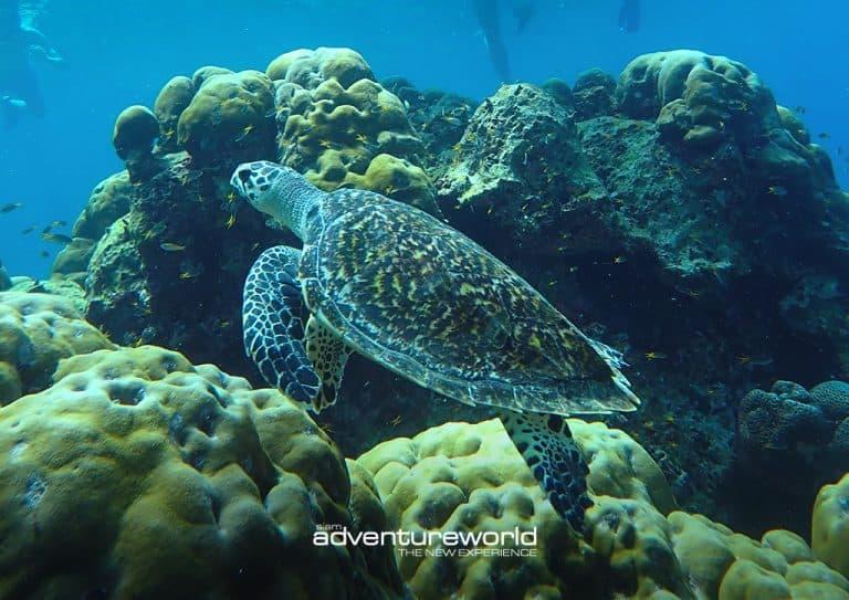 Turtle in Similan